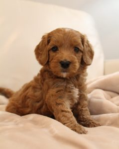 Australian labradoodle puppies therapy dogs Oregon