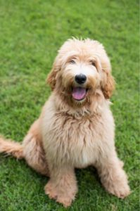 Oregon labradoodles Puppy Culture breeder