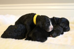 Australian labradoodle puppies Oregon Washington