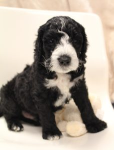 Oregon Australian labradoodle puppies available