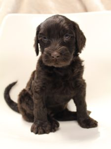 labradoodles available now
