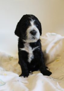 standard labradoodles available Oregon labradoodle breeder