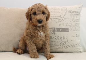 Labradoodles puppies Breeders in Oregon