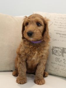Beaverton Tigard Oregon labradoodles breeders