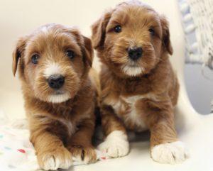 Oregon Australian Labradoodle breeders standard puppies