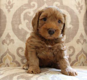 Australian labradoodle breeders standard puppies