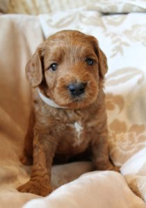 Australian Labradoodle breeders puppies now
