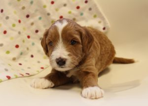 Oregon standard labradoodle puppies