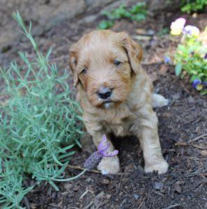 Beaverton Oregon labradoodle puppies breeders
