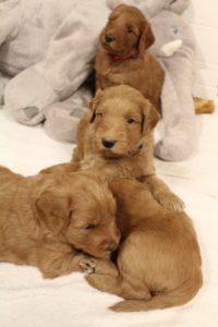 Oregon labradoodle therapy puppies