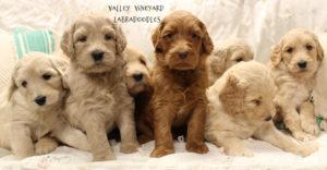 Australian labradoodle puppies standard medium Portland