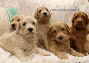 Labradoodle puppies Oregon Seattle Redding Portland Salem