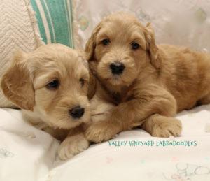 Labradoodle puppies available Oregon Salem