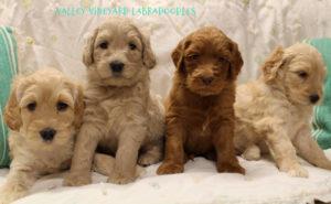 Labradoodle puppies McMinnville Newberg Salem Oregon