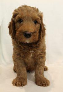 Oregon Puppy Culture breeders