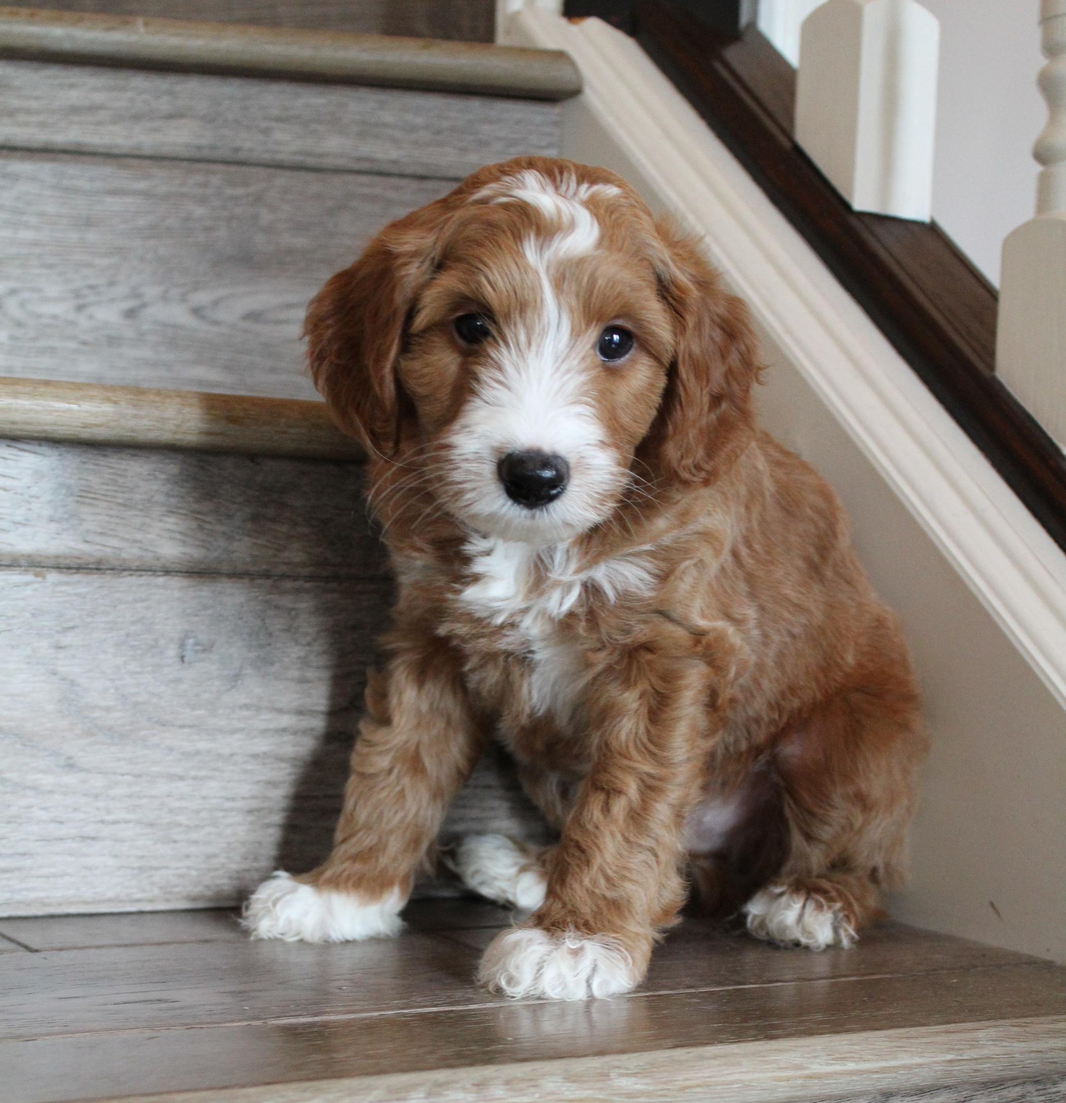 standard labradoodle puppy breeders Salem Oregon Seattle