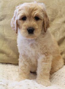 standard labradoodle puppies available now Oregon