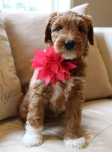 Portland Oregon labradoodles standard puppies available now