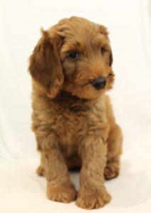 Oregon Australian labradoodle puppies breeders