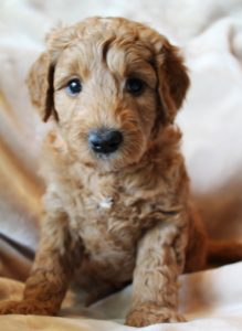 Vancouver Washington labradoodle puppies
