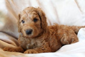 Redding California Australian Labradoodles