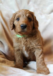 Labradoodle puppies Oregon Washington