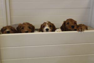 Porltand Oregon standard labradoodle puppies