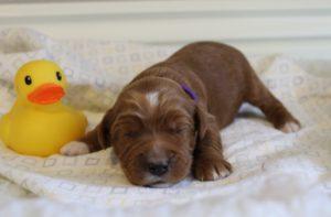 Oregon labradoodle breeders summer puppies