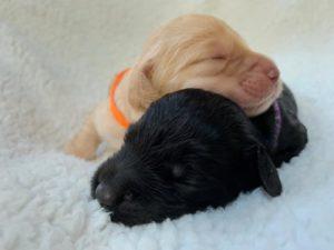 Oregon Australian Labradoodle puppies Salem Sherwod Portland Seattle