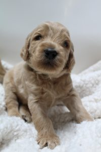 Olympia Salem Vancouver Labradoodle puppies