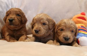 Oregon labradoodle summer puppies