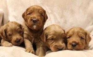 Australian labradoodle puppies available now standard Oregon