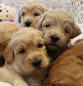 Oregon labradoodle puppies breeder