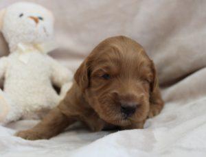 Salem Portland Sherwood labradoodles puppies now