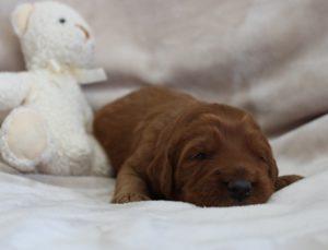 Beaverton Oregon labradoodle puppy breeders