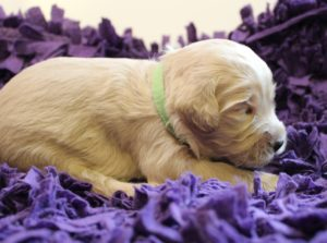 Australian labradoodle puppies Oregon therapy puppies