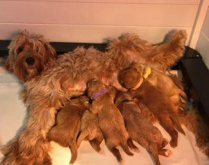 Australian labradoodles large Oregon puppies