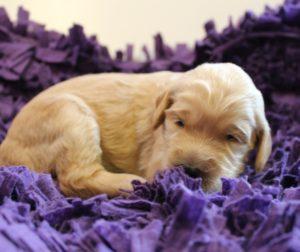 Puppy Culture puppies Oregon