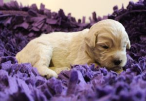 standard Australian labradoodle puppies