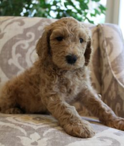 Salem Beaverton Sherwood labradoodle puppies