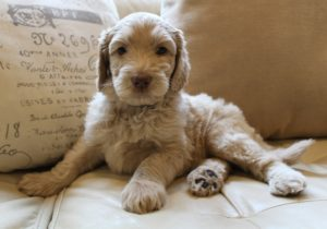 Australian Labradoodle puppies available now