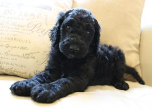 black labradoodles Oregon puppies