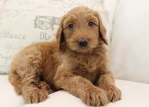 summer puppies available labradoodles