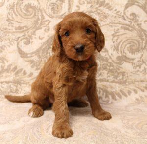 Labradoodles puppies breeders Oregon