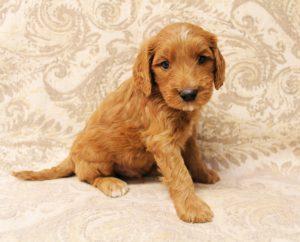Valley Vineyard Labradoodles Puppy Culture puppies