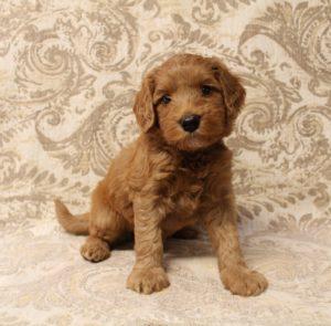 Oregon labradoodles Biosensor puppies