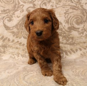 best breed therapy puppies Oregon Breeders Seattle Vancouver