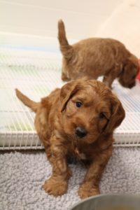 Oregon Puppy Culture labradoodles breeder