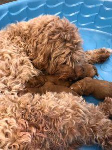 Australian labradoodle puppy breeders Oregon