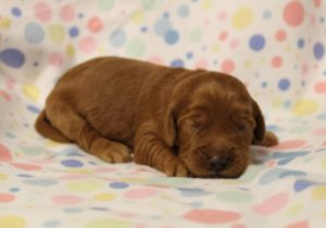 Yamhill County Australian Labradoodles puppies available now